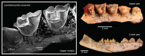 Lemdubuoryctes aruensis fossil teeth and jaws