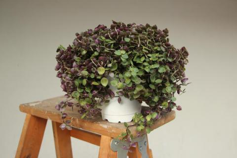 Tradescantia, ofte kalt vandrejøde, er en plante det er lett å ta stiklinger av og dele med andre