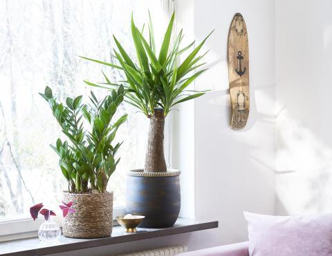Yuccapalm elefantfot, Garderobsblomma Mediumväxter Plantagen