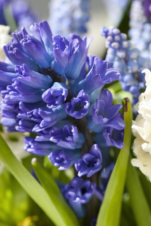 Hyacint 'Blue Star'
