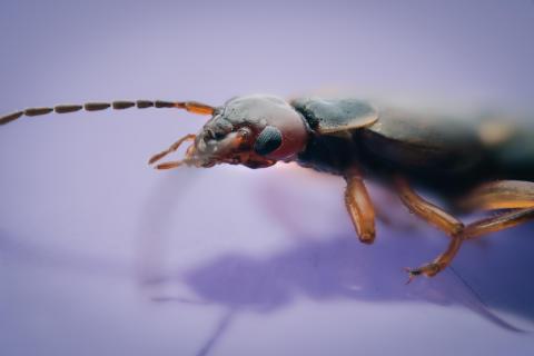 Saksedyr/ European earwig/ Forficula auricularia