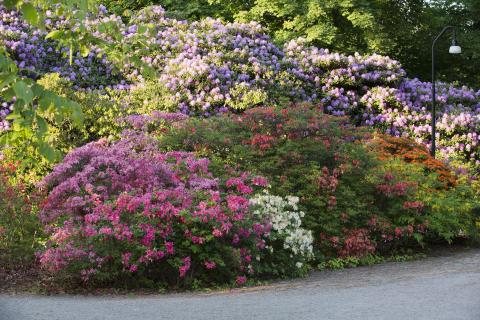 Rhododendronprakt på Sofiero