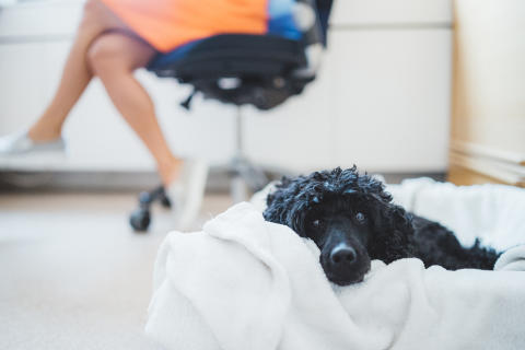 Kontorshundar minskar stressen enligt ny undersökning