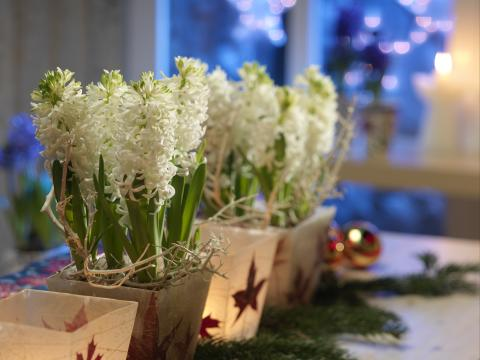 Vita hyacinter i fyrkantiga krukor