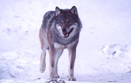En möjlig omstart för vargpolitiken