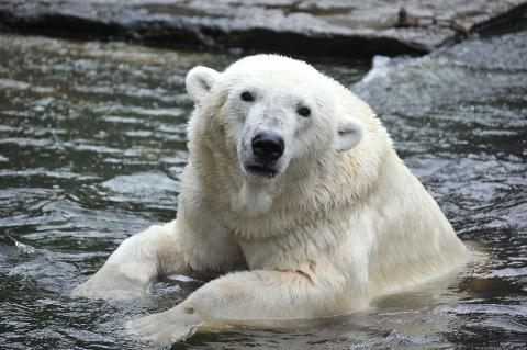 Traurige Nachrichten aus Frankreich: Eisbärin Vienna verstarb im Zoo La Palmyre