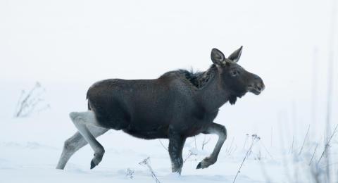 Elg i vinterlandskap