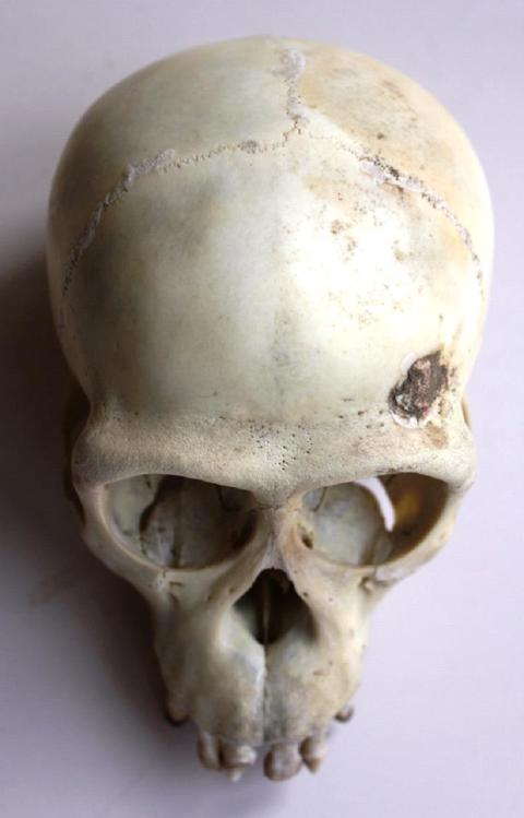 One of the primate skulls