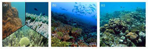 Så mycket klarar världens korallrev