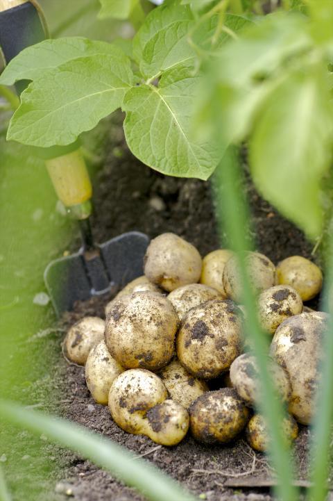 Färskpotatis - odling
