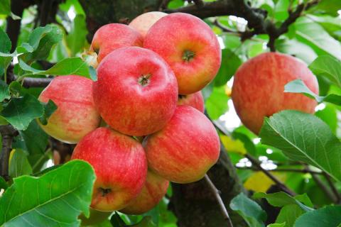Ny forskning ska ge oss friskare äpplen
