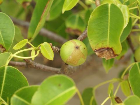 Manchineel-træet er så giftigt, at du ikke kan stå under det, når det regner
