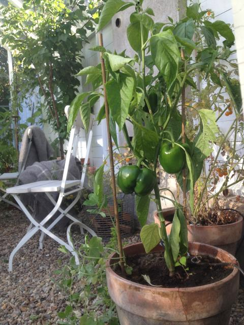 Odling i växthus & orangerier