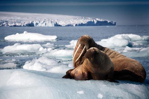 Oceans - valrossmamma med unge