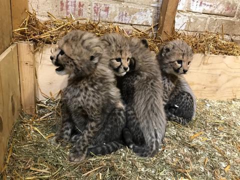 Nu var det åter dags att visa upp en ny kull gepardungar på Borås Djurpark