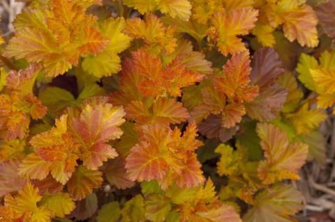 Smällspirea, Physocarpus AMBER JUBILEE®