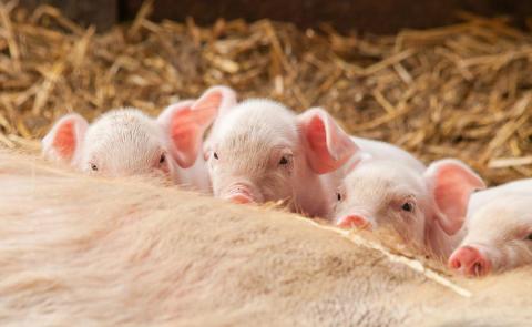 Jordbruksverket sänker djurskyddet för gris i strid mot både politiker och experter