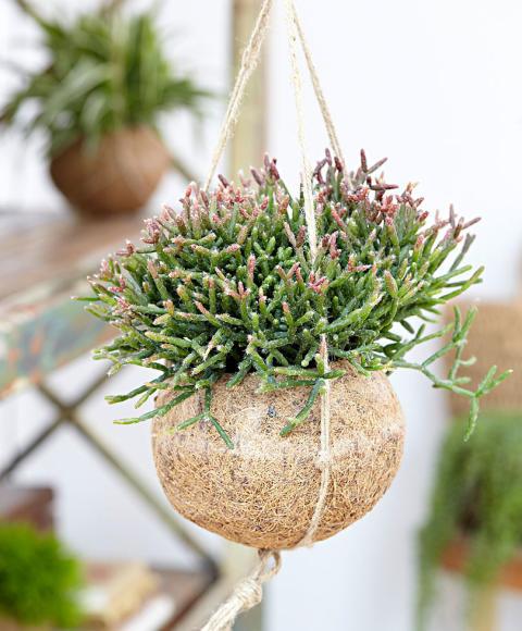 Kokodama® Rhipsalis burchellii