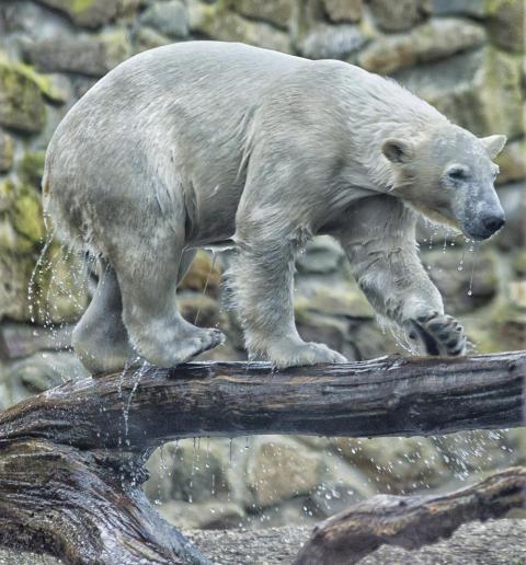 Eisbär Akiak
