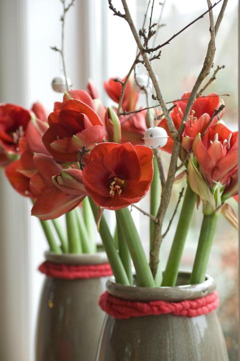 Röda amaryllis i fönster