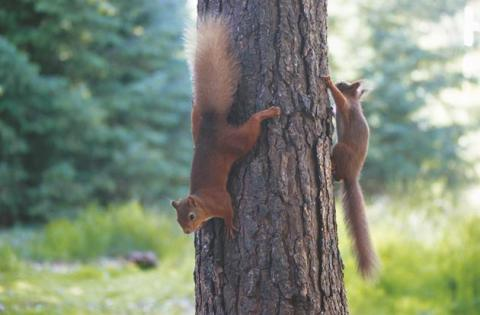 Center Parcs Whinfell Forest celebrates National Red Squirrel Week
