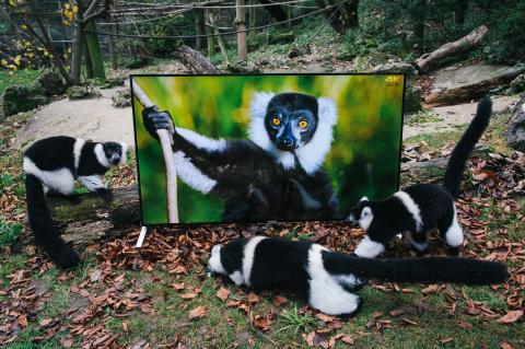 Lémures e langures assistem a imagens realistas num televisor Sony 4K