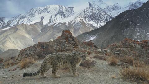 Sneleopard i Himalaya
