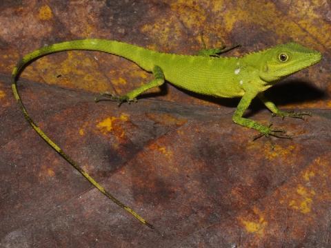 To nye krybdyr fundet på Sumatra