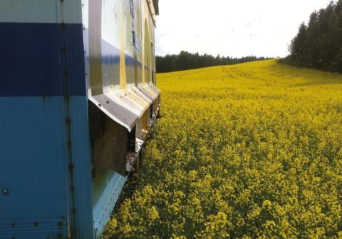 Värdet av honungsbin ökar