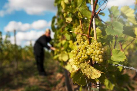 Pressinbjudan till studiebesök på Åhus vingård