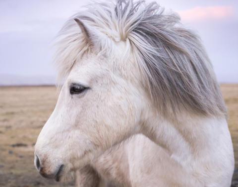 Premiär för Islandshästtävlingar på Falsterbo Horse Show!