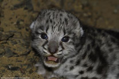Vild snöleopardsunge upptäckt i sin lya