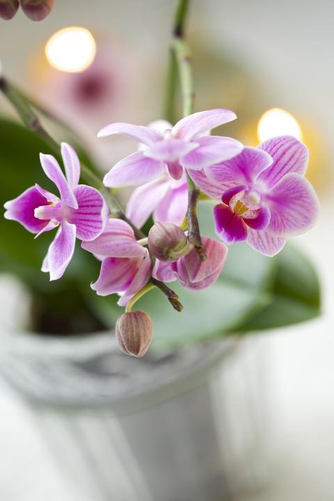 Brudorkidé phalaeopsis