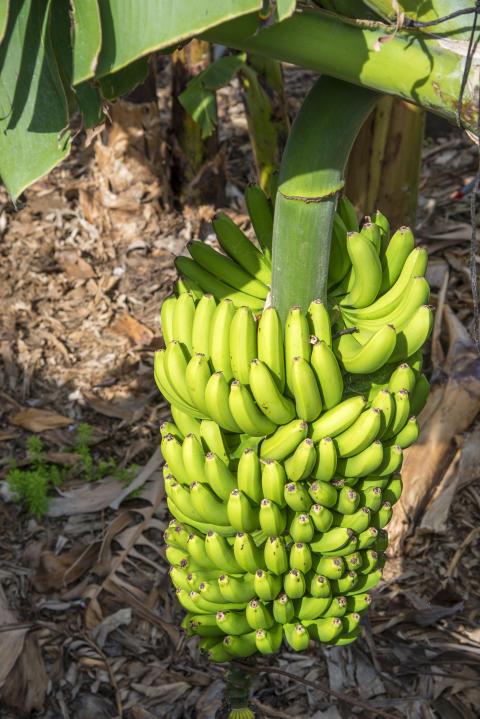 La Palma bananplantage