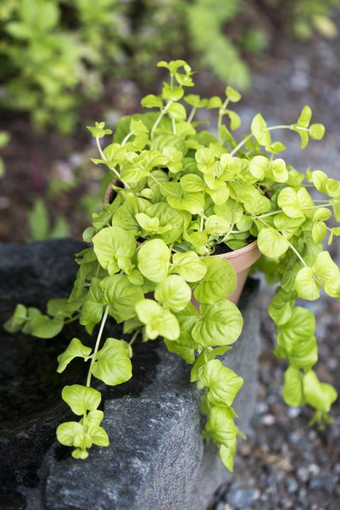 Penningblad, Lysimachia nummularia 'Goldilocks'