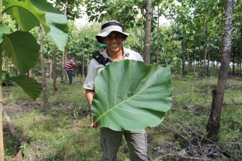 Teakbaum  Life Forestry: Teakbäume pflanzen - Zu Besuch in der Eliteschule ...