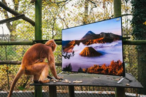 Lemurs and Langurs watch life-like 4K TV as part of their reintroduction to the wild