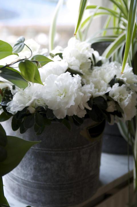 Fönsterazalea Rhododendron simsii Madame Troch i fönster