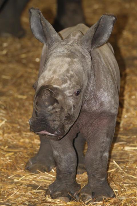 Noshörningsfödsel Pressvisning