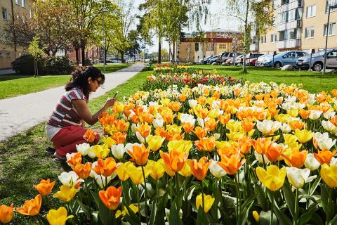 På lördag är det äntligen dags för Tulpanfestivalen i Haninge. Kom du också!