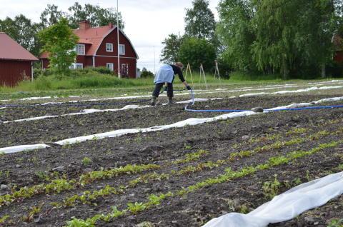 Ekologisk andelsodling på Torsta