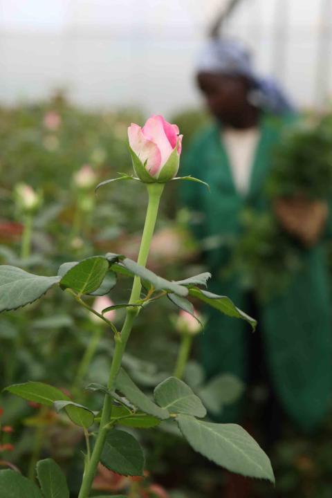 Ros på Fairtrade-certifierat plantage i Kenya