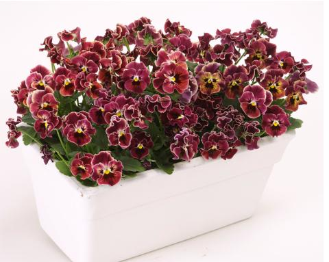 Viola-wittrockiana-Frizzle-Sizzle-Mini-Purple-Shades_34678_5