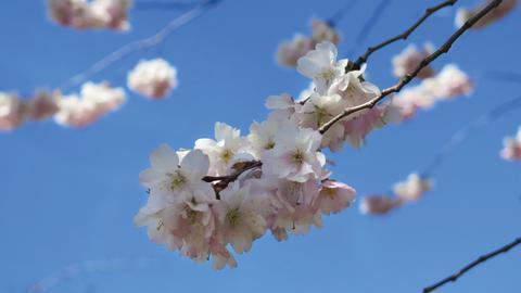 Körsbärsträd 1 CMYK