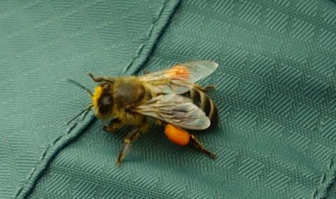 Bi med fulla pollensäckar