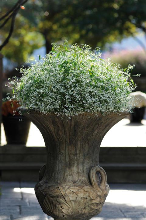 Månadens blomma - maj 2011