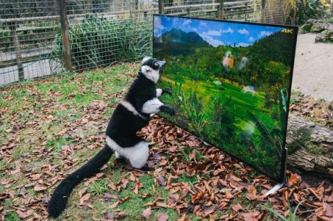 Goggle-Eyed Lemurs and Langurs watch life-like 4K TV as part of their reintroduction to the wild