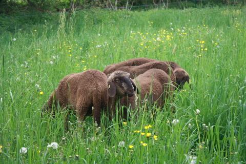 Goetheanum-Gartenpark: Neu weiden hier auch Schafe