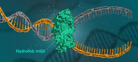 DNA hålls ihop för att molekylens inre skyr vatten