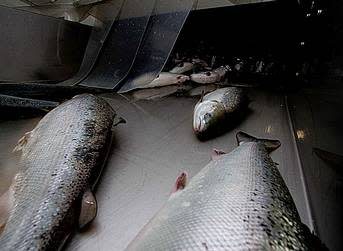ISA harvest pulls down prices for small-sized salmon
